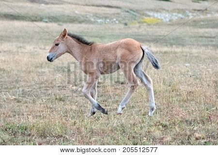 Wild Horses - Baby foal colt on Sykes Ridge in the Pryor Mountains Wild Horse Range on the border of Montana and Wyoming United States
