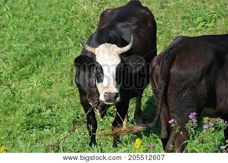 Cow At Meadow