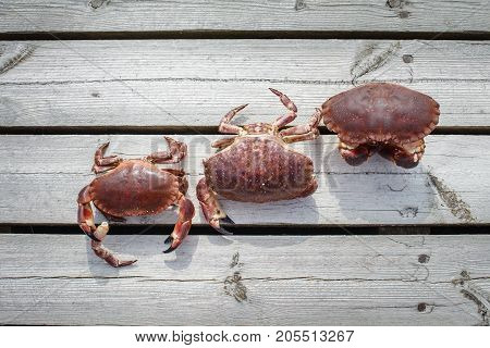 three alive crabs standing on wooden floor. outdoor shot in norway. copy space.