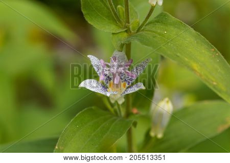 Toad Lily Flower (tricyrtis Hirta)
