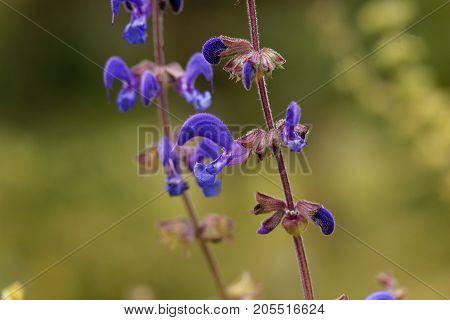 Flowers Of Salvia Transsylvanica