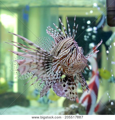 Beautiful Lionfish In The Aquarium