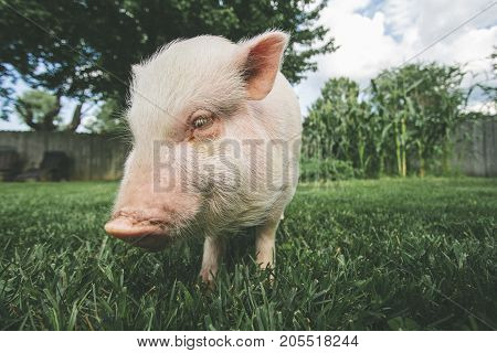 a medium sized pet pig in the grass.