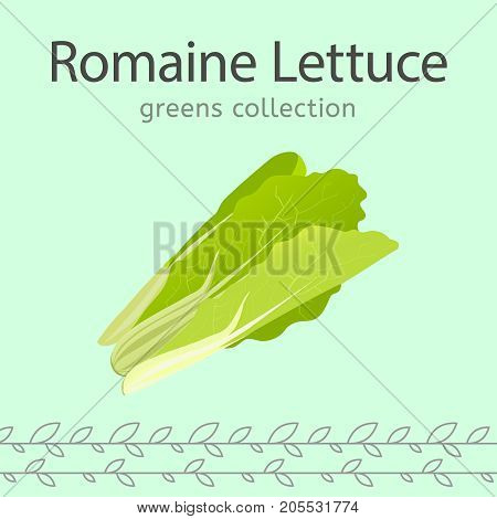 Romaine lettuce vector illustration. Beautiful image isolated on a light green background. Greens collection.