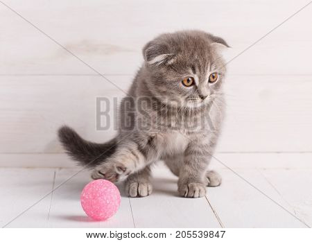 Cat, domestic and playful concept - Little Scottish cat