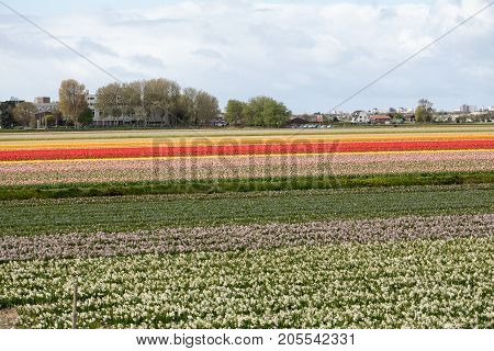 Tulip and hyacinth fields of the Bollenstreek South Holland Netherlands