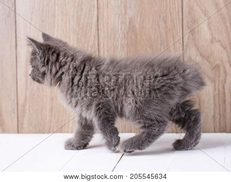 Photo of funny american bobtail cat on wooden background