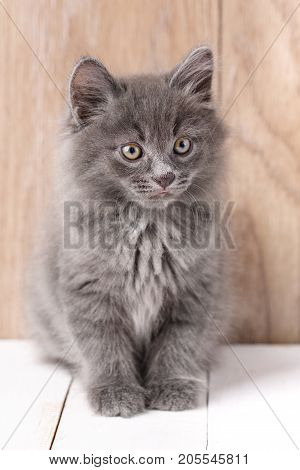 Cute Kurilian Bobtail Kitty on a wooden background