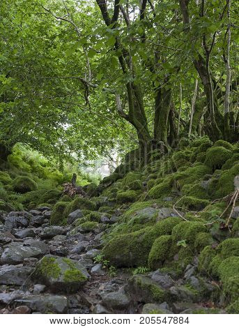 Mossy path to Silver Howe Grasmere Lake District England.