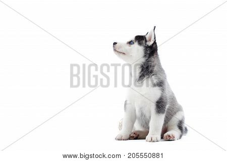 Shot of a little cute Siberian husky puppy looking at the copyspace isolated on white.