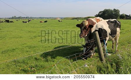 Cows Grazing In The Plain Of Prairie In Summer