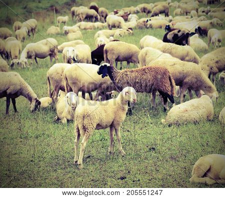 Flock With Many Sheep Grazing In The Mountains
