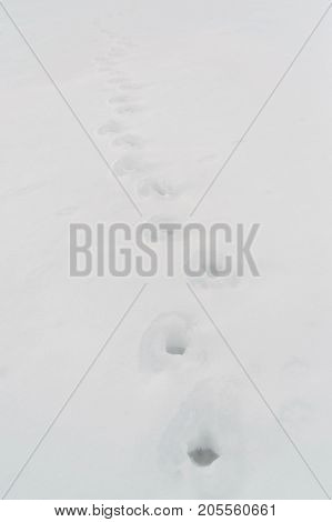 animal tracks in the snow - shallow depth of field