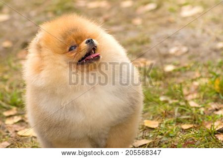 Spitz ilooks up with his mouth open. Space under the text. 2018 year of the dog in the eastern calendar Concept: parodist dogs, dog friend of man, true friends, rescuers.
