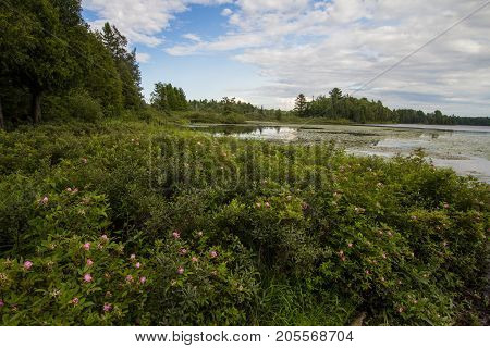 Wetland Wilderness. Inland lake and wetlands with wildflowers lining the shore in Michigan's Hiawatha National Forest.