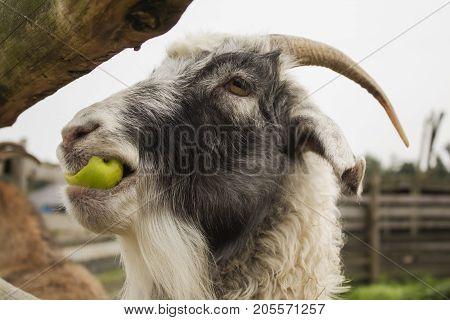 Cute funny goat in zoological garden, closeup