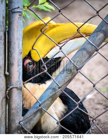 Close-up image of unhappy Hornbills (Buceros bicornis) bird imprisoned in cage. Cruelty animal concept.