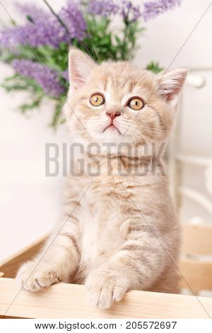 Beauty from the wooden box. Scottish fold cat. Baby animal portrait. Flowers on the background
