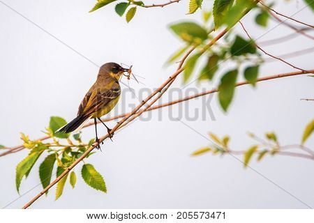 Close up beautiful Western Yellow Wagtail or Motacilla flava sitting on tree branch with prey in its beak