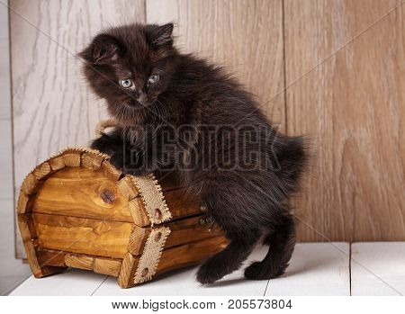 A photo of funny bleack american bobtail cat three monthes old on wooden background near box