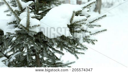 Snow-cowered fir branches. Cold winter forest background