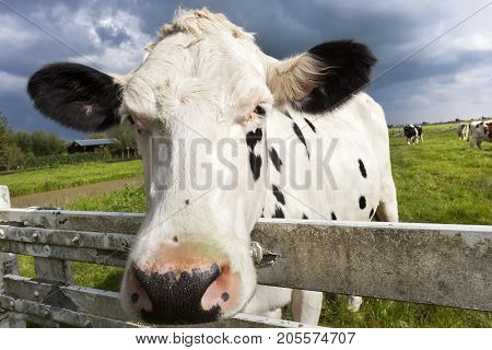Close-up of a dutch cow head in the meadow of a Dutch polder landscape