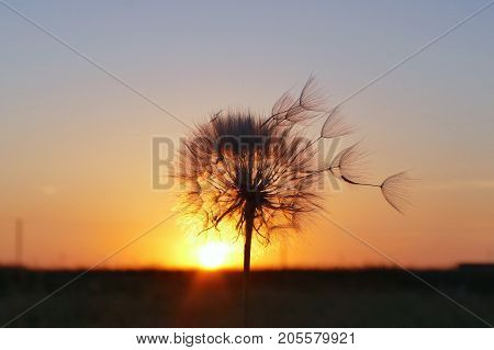 amazing blowball in sunset light. the wind blows