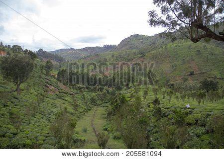 Indian tea plantation in the Nilgiri at cloudy weather