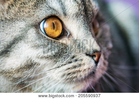 closer look of the Scottish fold cat. portrait