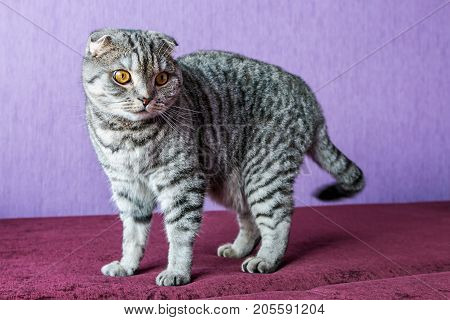 closer look of the Scottish fold cat on a purple background