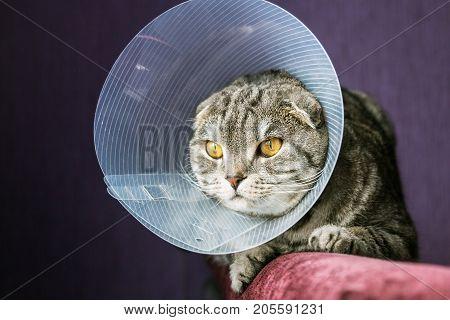 sick Scottish cat in a plastic protective collar. portrait of a sick cat