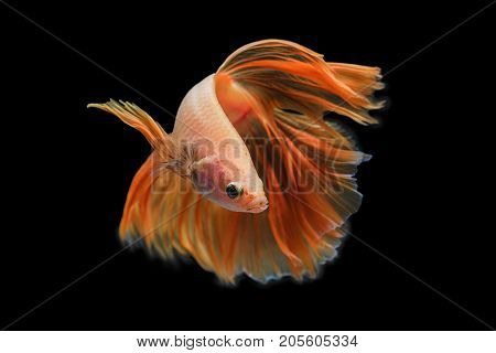 Capture the moving moment of Orange Red siamese fighting fish isolated on black background. Dumbo betta fish