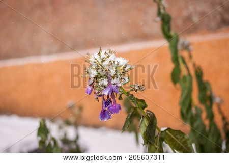 White fluffy first snow is lying on frozen and wilted Phlox flower orange wall background and copy space.