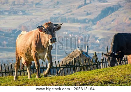 Cow Go Uphill Near The Fence On Hillside