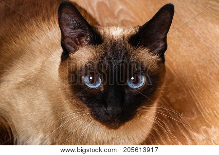 Siamese Or Thai Cat Lies On The Floor. The Cat Is Disabled. Three Paws, No Limb.