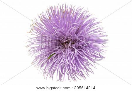 Decorative Aster flower isolated on white background