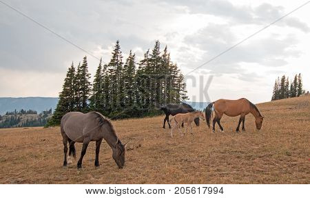 Wild Feral Horses - Small herd with baby foal colt grazing at sunset on Sykes Ridge in the Pryor Mountains Wild Horse Range in Montana United States