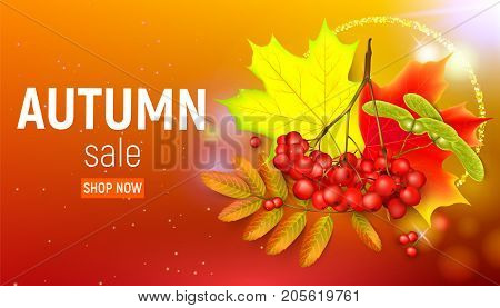 Sales banner with maple autumn leaves and rowan branches with ashberry on a orange background. Autumn maple leaf and red rowan branches with ashberry on a orange background. Vector illustration