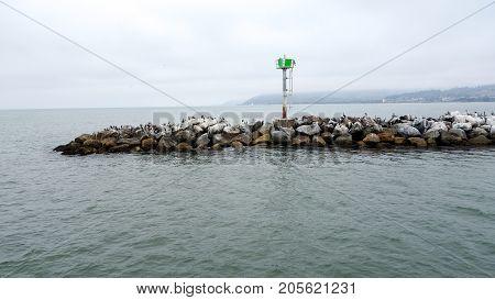 California Brown Pelicans all over breakwater near Ventura harbor in port of San Buenaventura Southern California