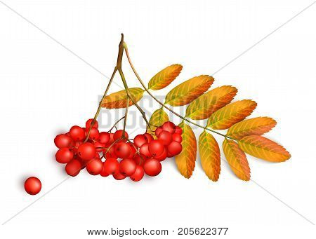Realistic 3d mesh rowan branch isolated on a white background. Rowan branch with orange leaves and ashberry isolated on a white background. Vector illustration