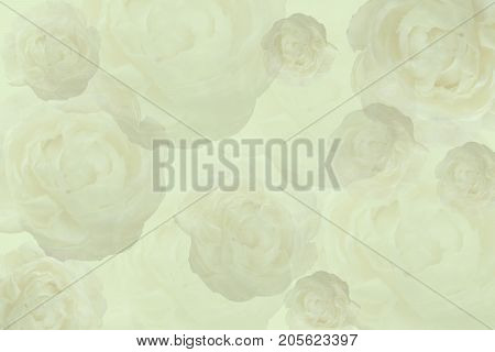flowers background tone Yellow Jasminum sambac in scientific name and space for text.- Tropical Asia flower