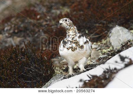 Wild female white-tailed ptarmigan