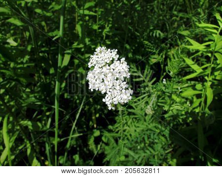 beautiful white yarrow on a background of green grass on a clear summer day