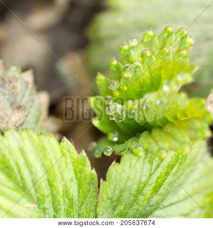 dew drops on strawberry leaves. macro . In the park in nature