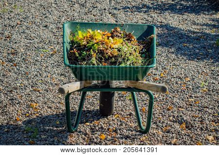 Fall leaf cleaning. Green wheelbarrow full of yellowing leaves on a gravel path.