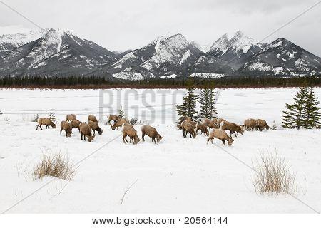 Grazing bighorn sheep