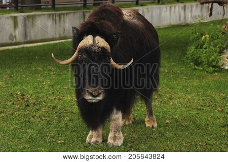 sad musk ox looks intently at the zoo on a background of green grass