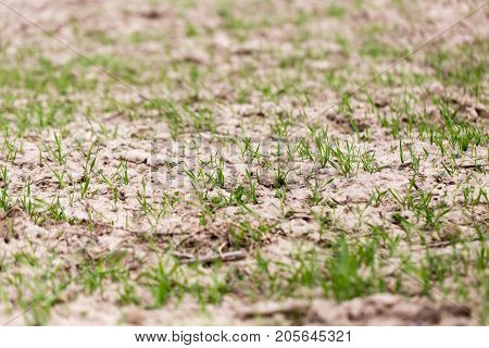 wheat germ on the field . In the park in nature
