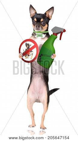 Cute chihuahua have a itch spray and forbidden road sign between legs