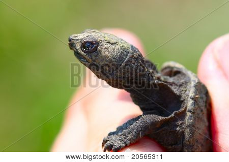 Tiny Snapping Turtle